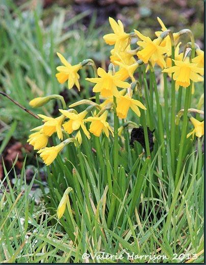 41-daffodils