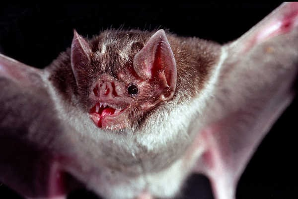 7- Morcegos vampiros
