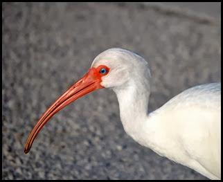 03b - Wildlife - Ibis