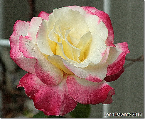 Rose_Double_Delight