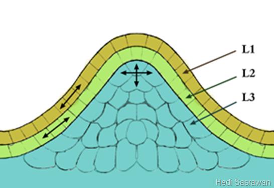 ciri-ciri jaringan meristem