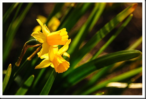 Daffodils at Brookside Gardens