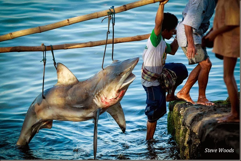 Shark carried by locals - SMALL