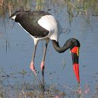 Sattelstorch im Okavango-Delta © Foto: Pascal Chapelain