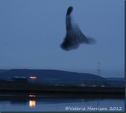 starlings-4