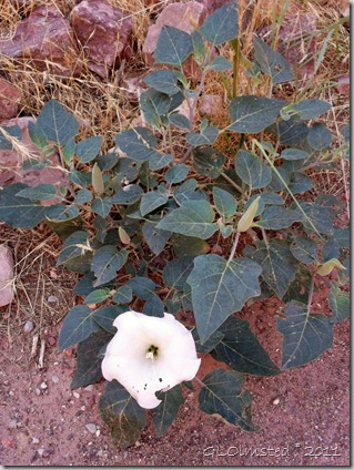 Sacred datura along North Kaibab trail Grand Canyon National Park Arizona