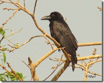 041 Large billed Crow ( Girnari Kagdo