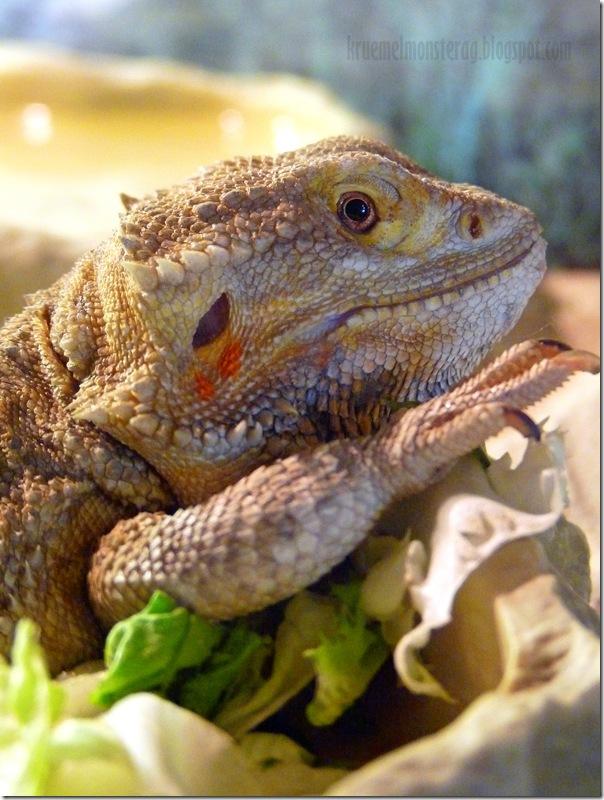 Bartagame mit Salatbeilage (2)