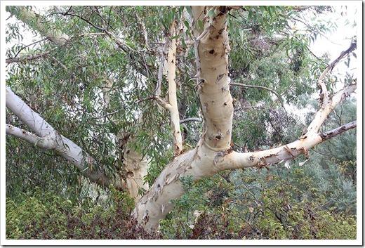 111015_Santa-Cruz_UCSCA_Eucalyptus-laeliae_08