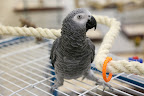 Certainly!  I'm a Congo African Grey parrot.  I make a great pet because of my overall gentle nature and my quick ability for learning how to speak.