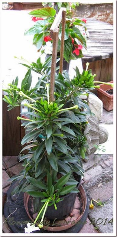 04-23-brunsfelsia-manaca2