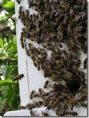 Rojení  a velikost včelstva 101