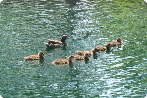 Baby ducks