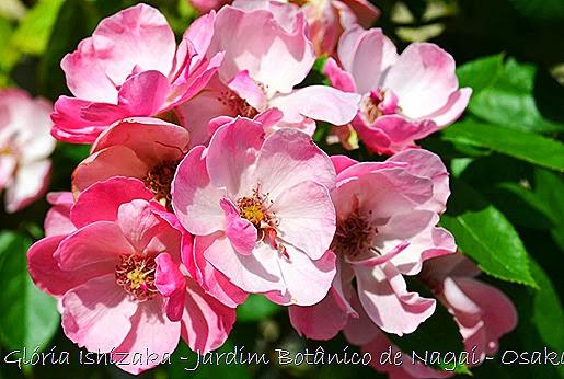 24  - Glória Ishizaka - Rosas do Jardim Botânico Nagai - Osaka
