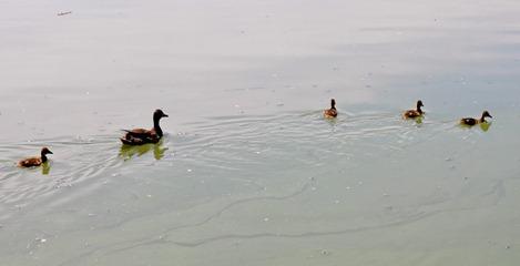 2012-07-15 mama baby ducks