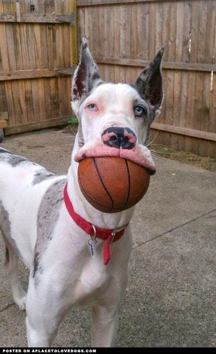 great-dane-wants-to-play