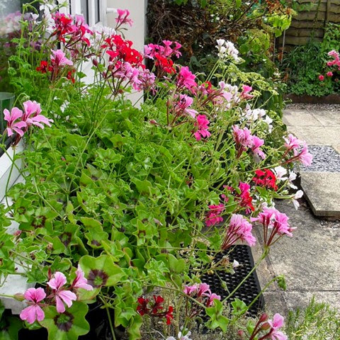 window box trailing pelargoniums