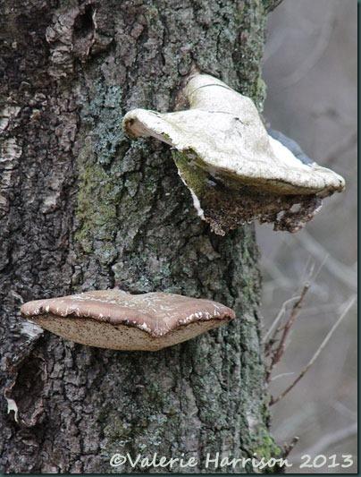 8-birch-polypore