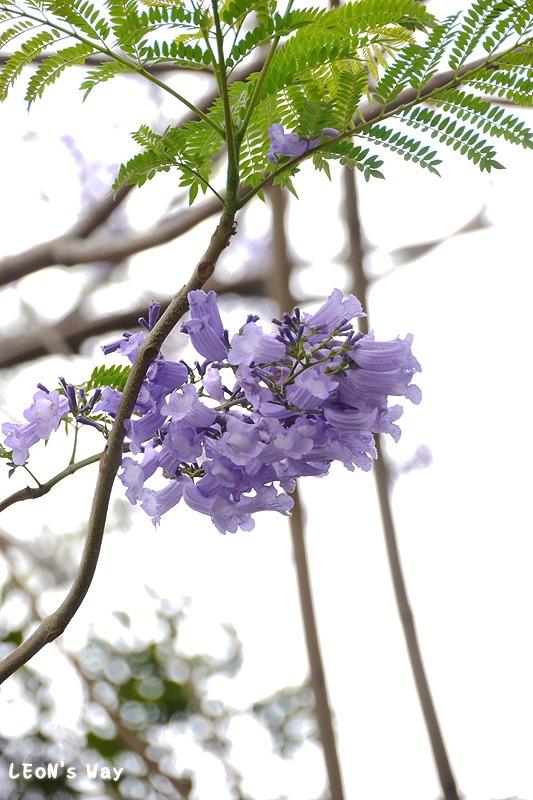 2013_0404 藍花楹_021