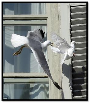 Paloma atacada por gaviota en el Vaticano