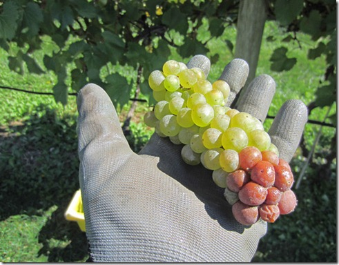 Sour bunch rot of Vignoles grapes