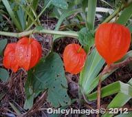 lantern plant (9)