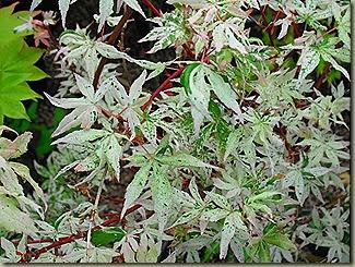 acer-palmatum-ukigumo--513-p