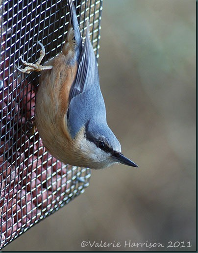 7-nuthatch