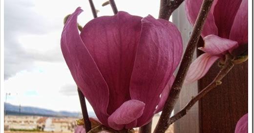 En macetas magnolia soulangeana - Magnolia grandiflora cuidados ...