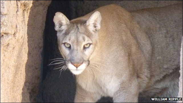 The puma, known as the cougar in North America, has been declared extinct in the eastern US. Three quarters of the world's big carnivores - including lions, wolves and bears - are in decline. Photo: William Ripple
