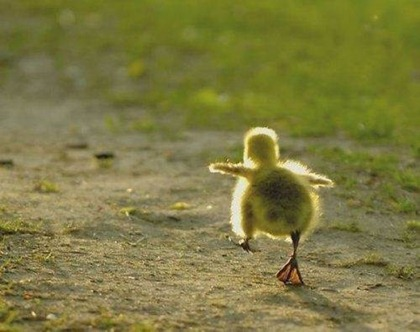 duckling-trying-to-fly