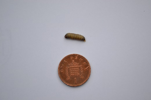 Wax moth larvae - next to one penny piece for size comparison