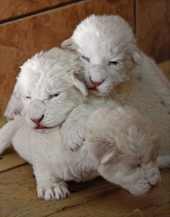 Rare white lion cubs make debut at Serbian zoo 01