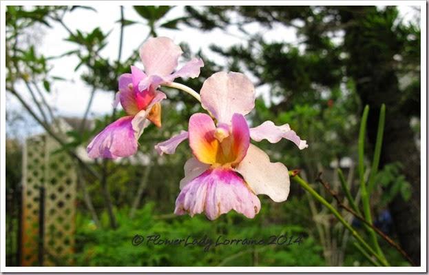 09-22-vanda-miss-joachim-orchids