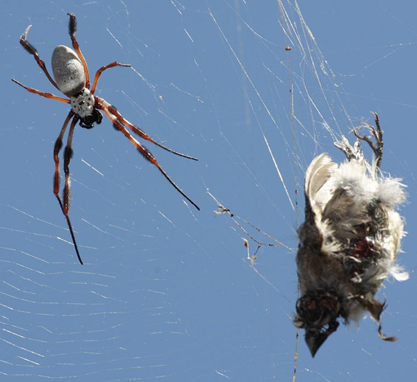Bird Caught in Web Spider Approaching 01