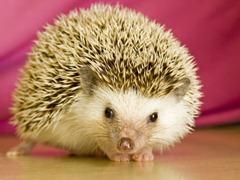 albino-Hedgehog-Erinaceus-europaeus