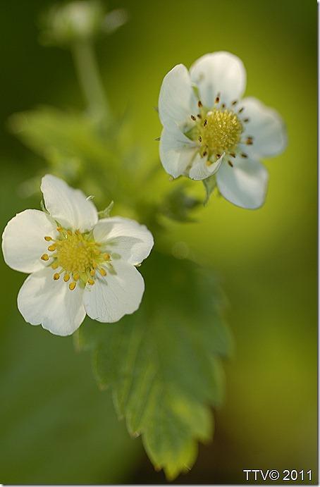kukkia hyttynen mato 066