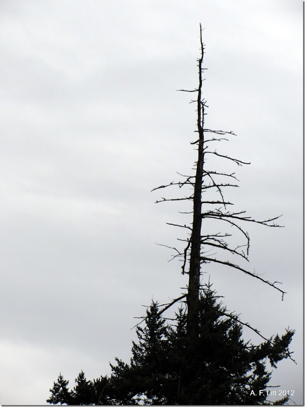 Snag.  Photo of the Day, February 8, 2012. Springwater Corridor.  Gresham, Oregon.  Taken February 8, 2012.