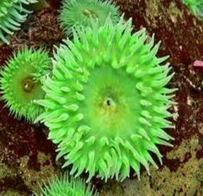 Amazing Pictures of Animals, photo, Nature, exotic, funny, incredibel, Zoo, Sea anemones, Actiniaria, Alex (5)