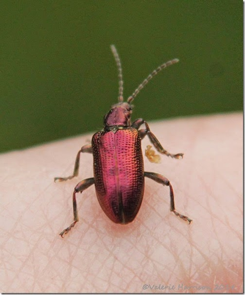 22-Reed-Beetle-Plateumaris-sp