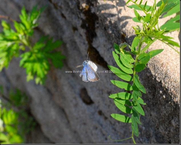 sunnuntain ötökkä kuvat outo perhonen toukka 089