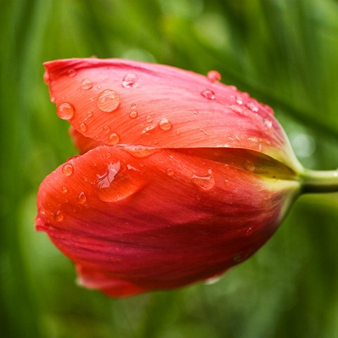 Tulip-2