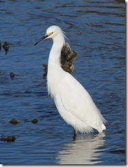 Beautiful Snowy Egret