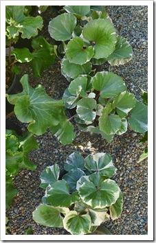 120303_GreenAcresFolsom_Farfugium-japonicum-Argenteum