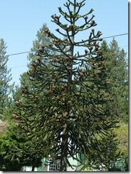 Monkey Tree Sedro Woolley