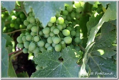 vineyard8