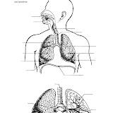Sistema respiratorio para completar con los nombres