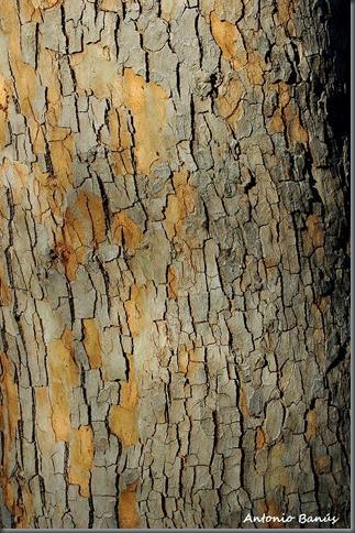 12 platanus orientalis DSC_8095x1