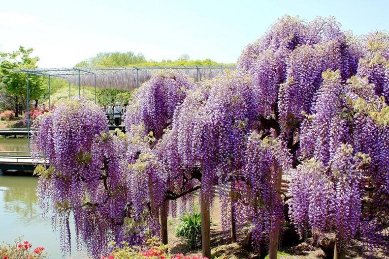 ashikaga-flower-park-4