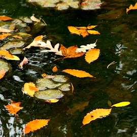 Pond Leaves by Leah Zisserson - Nature Up Close Leaves & Grasses ( orange, fall, floating, yellow, leaves, pond,  )